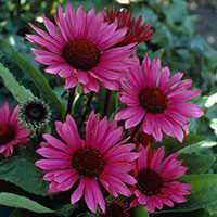 Echinacea_Fatal attraction