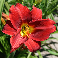 Hemerocallis Galena Holiday