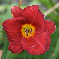 Hemerocallis Little zinger