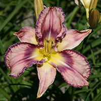 Hemerocallis Mildred mitchell