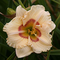 Hemerocallis Baby Talk