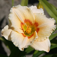 Hemerocallis Ethel Smith
