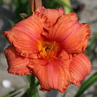 Hemerocallis South Seas