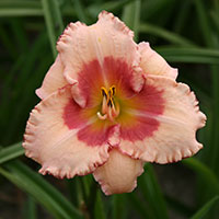 Hemerocallis Strawberry Fields Forever