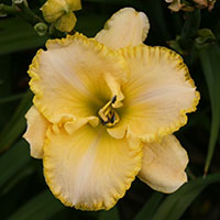 Hemerocallis Total Look