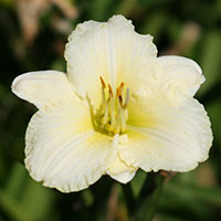 Hemerocallis White Lemonade