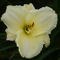 Hemerocallis White tie Affair