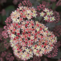 Sedum Moonlight Serenade