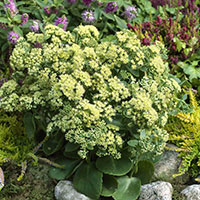 Sedum Sunkissed