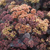 Sedum yellow Xenox